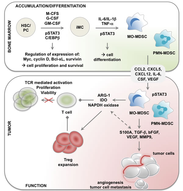 Role of STAT3 in accumulation, differentiation and functional regulation of MDSCs in cancer.
