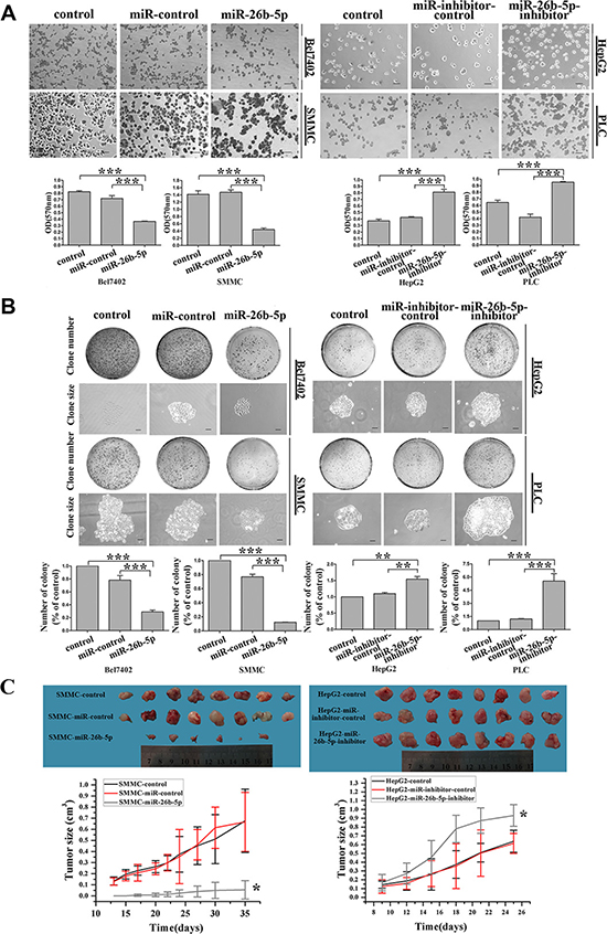 Stable over-expression of miR-26b-5p suppresses adhesive and colony formation abilities in vitro and tumorigenicity in vivo.