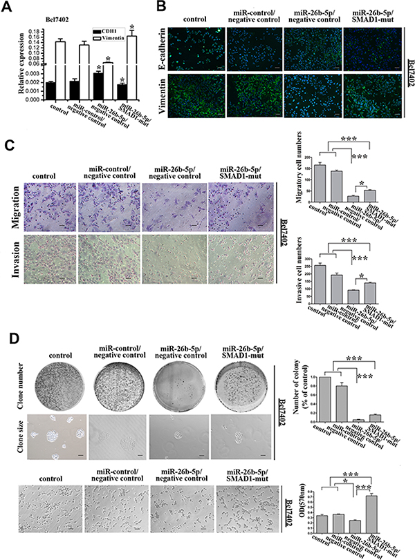 Re-expression of SMAD1 partially rescued miR-26b-5p-mediated EMT, cell migration and invasion abilities in Bel7402-miR-26b-5p cells.