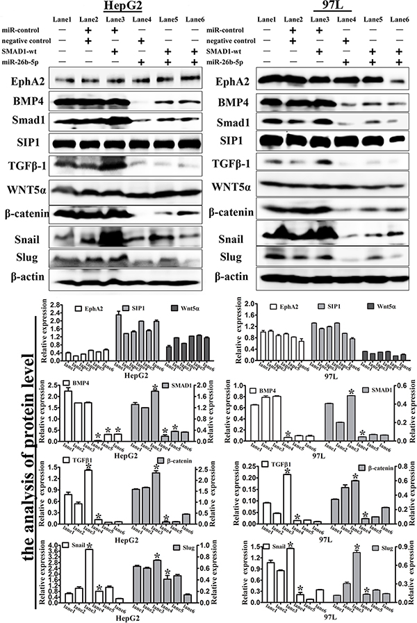 Expression levels of EMT-associated markers in the transfected HepG2 and 97L cells.