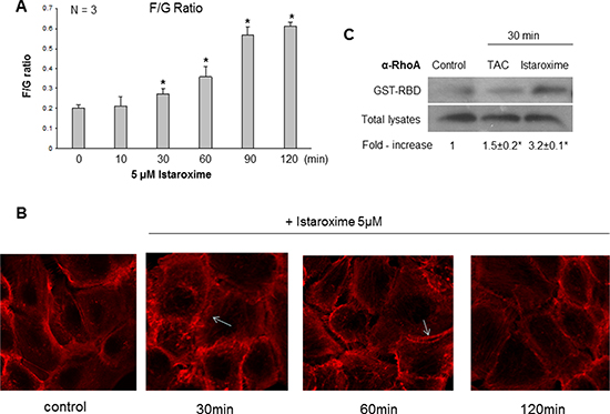 Istaroxime induces actin cytoskeleton re-organization and RhoA activation in prostate cancer cells.