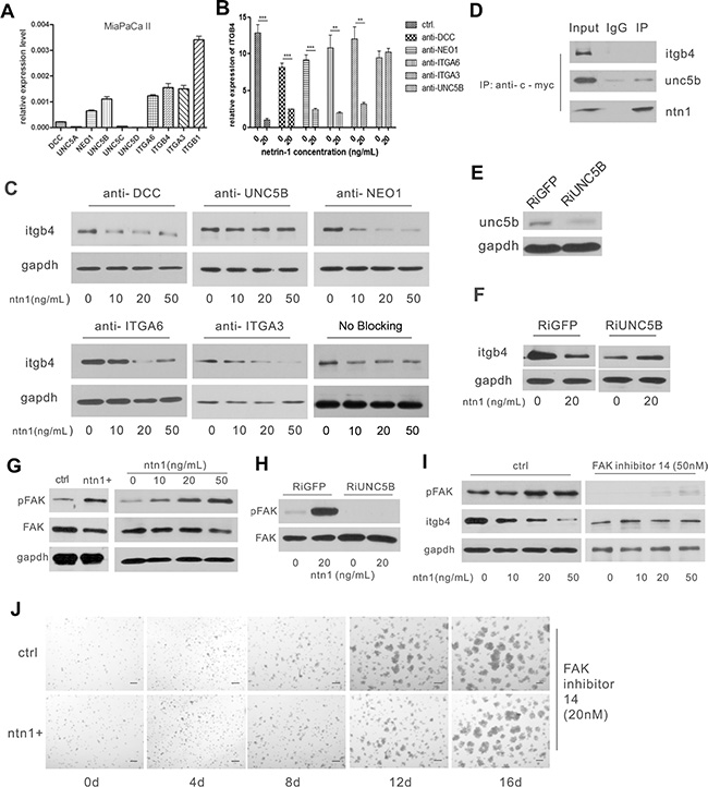 Netrin-1 down-regulates integrin β4 expression through the UNC5b receptor and the activation of FAK.