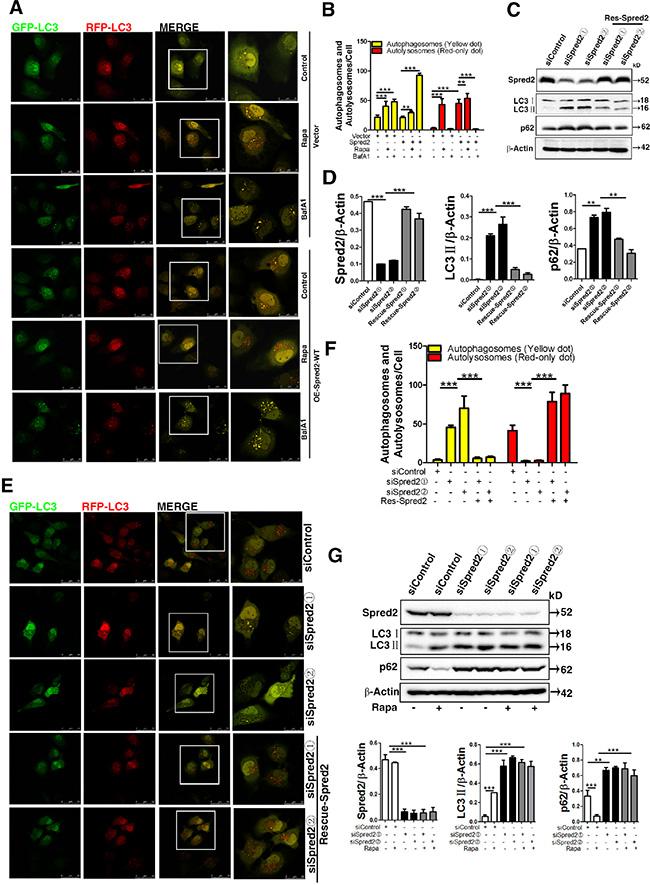 Spred2 enhances autophagosome maturation.