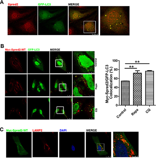 Spred2 localizes with LC3-positive autophagic structures.