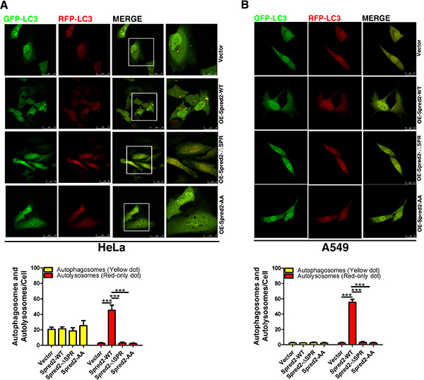 LIR motifs are required for Spred2-mediated autophagosome-lysosome fusion.