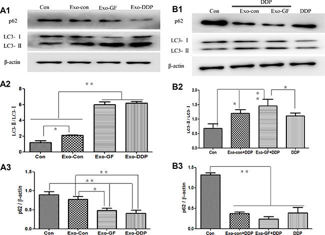 Exosomes upregulate autophagic activity and Exo-GF enhances cisplatin-induced autophagy in PC9 cells.