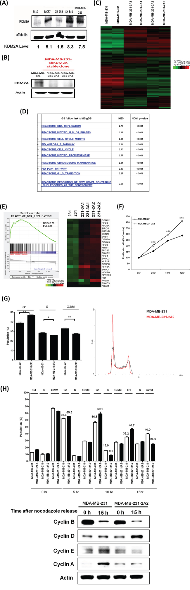 Knockdown of KDM2A delayed cell cycle progression and decreased proliferation of breast cancer cells.