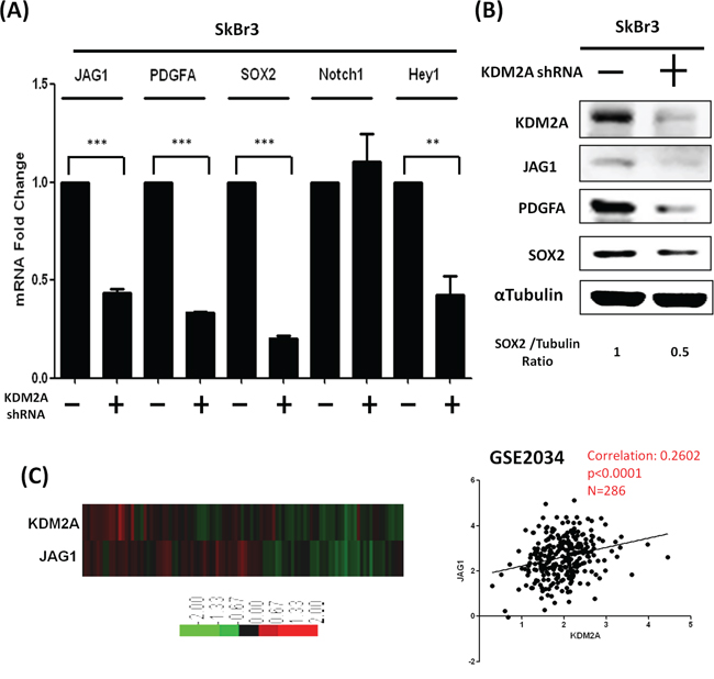 Knockdown of KDM2A also reduced JAG1 and PDGFA in SkBr3 breast cancer cells.