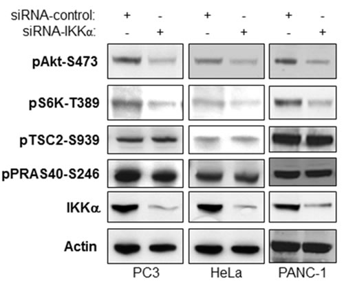 IKKα-mediated Akt activity does not affect Akt-directed phosphorylation of TSC2 and PRAS40.