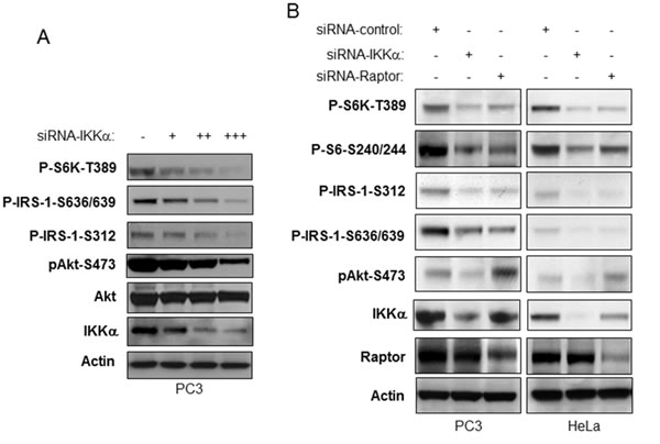 IKKα is required for activation of Akt downstream of mTORC1 inhibition.