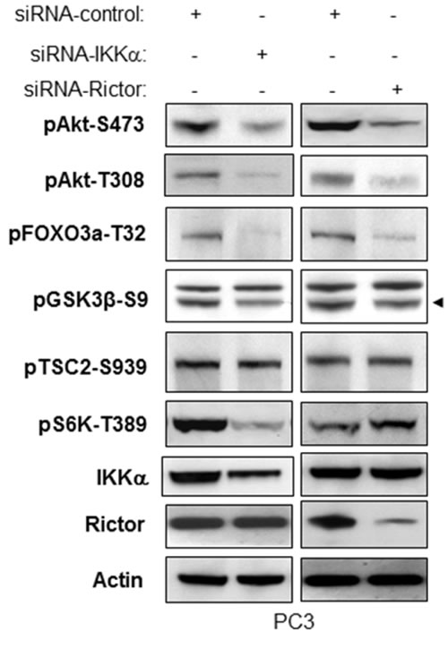 IKKα and Rictor have similar effects on regulation of phosphorylation of Akt and Akt substrates.