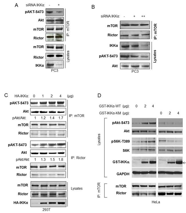 IKKα enhances imTOR/Rictor kinase activity to Akt.