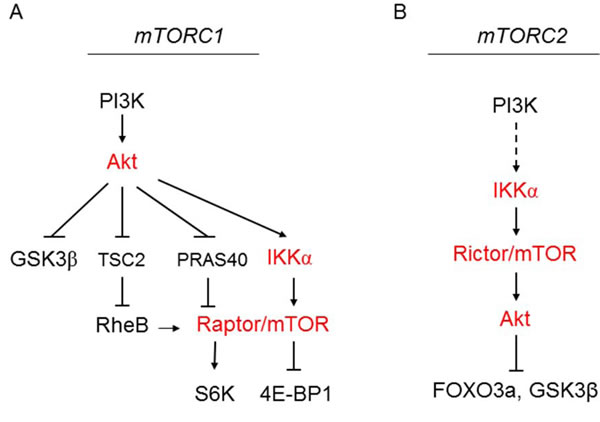 Model for IKKα regulation of mTORC1 downstream of Akt (A) and regulation of mTORC2 upstream of Akt (B).