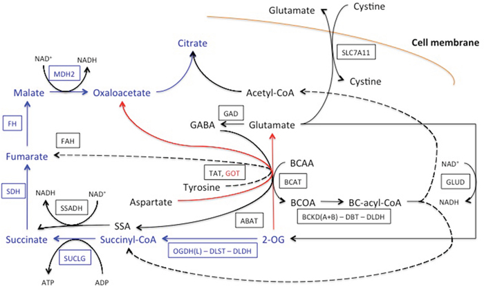 Network of the OGDH(L)-related reactions, shunting the TCA cycle block by the OGDH(L) inhibitor SP.
