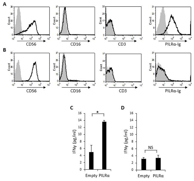 PILRα-Ig binds some CD56 bright NK clones and causes IFNγ secretion.