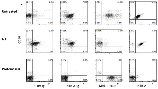PILRα-Ig interaction with its receptor on NK cells is protein-protein mediated and not sialic acid dependent.