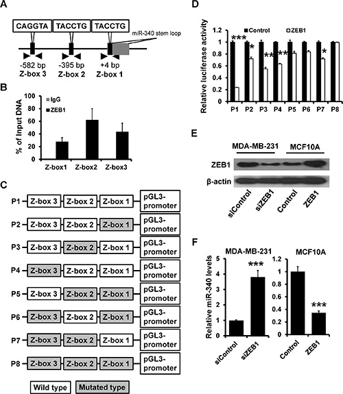 ZEB1 directly suppresses miR-340 expression.