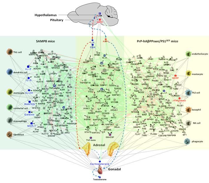 The neuroendocrine immunomodulation network underlying cognitive impairment in in SAMP8 and PrP-hAβPPswe/PS1