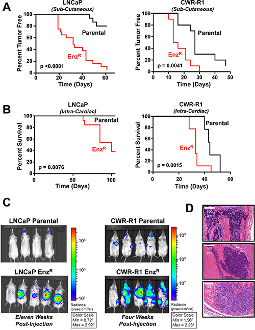 Enzalutamide resistant LNCaP and CWR-R1 cells display increased castration resistant tumor take, and increased metastatic colonization to bone.