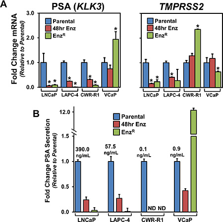 The expression of the AR target genes PSA and TMPRSS2 and the status of AR signaling in the EnzR cell lines.