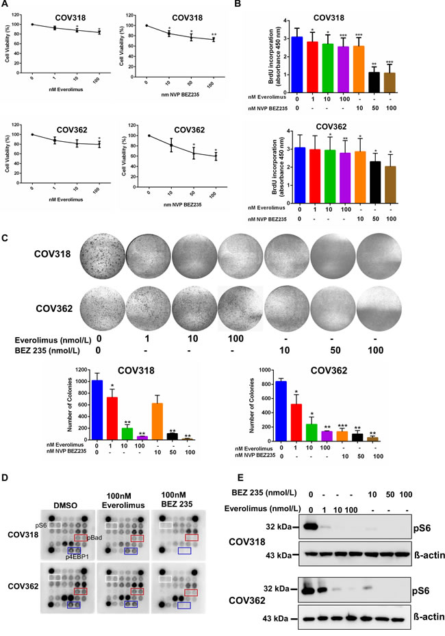 mTOR inhibitors suppress the growth of ovarian cancer cells.