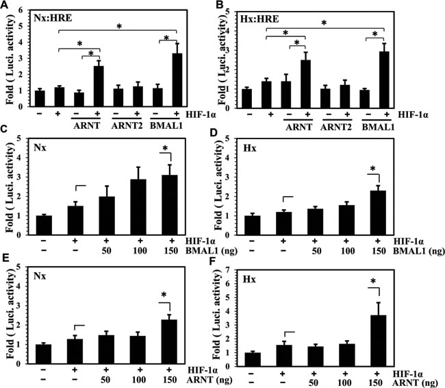 BMAL1 synergizes HIF-1 dependent HRE activity in NP cells.