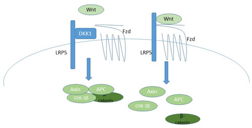 A schematic of the canonical Wnt signaling pathway, indicating how DKK-1 inhibits pathway activation, and thus how BHQ880 would activate signaling.