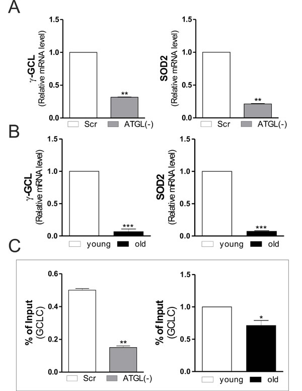 Changes in SOD2 and γ-GCL gene expression upon ATGL decline in skeletal muscle.
