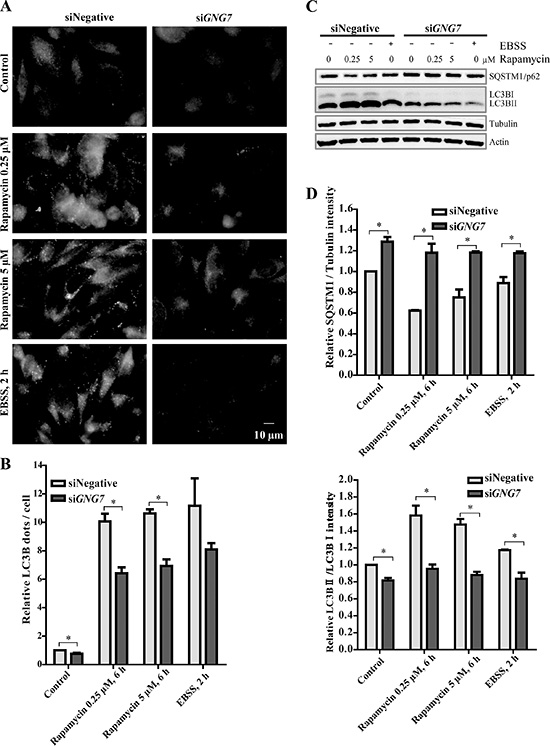 GNG7 knockdown reduces Rapamycin and EBSS induced autophagy.