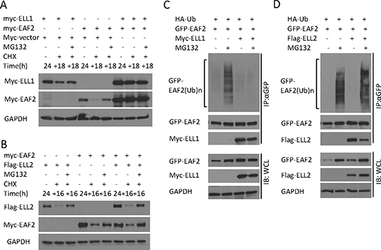 The effect of ELL1 and ELL2 on EAF2 stability and ubiquitination.