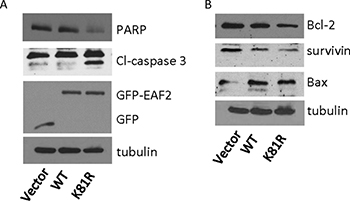 Effect of K81R substitution on EAF2 induction of apoptosis.