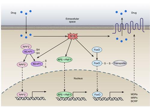 Redox regulation of drug efflux transporters expression.