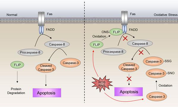 ROS-induced deregulation of apoptosis.