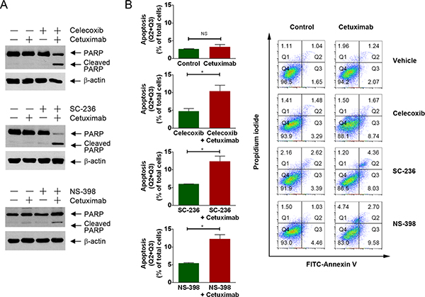 Pharmacological inhibition of COX-2 enzyme activity resensitizes DiFi5 cells to cetuximab via induction of apoptosis.