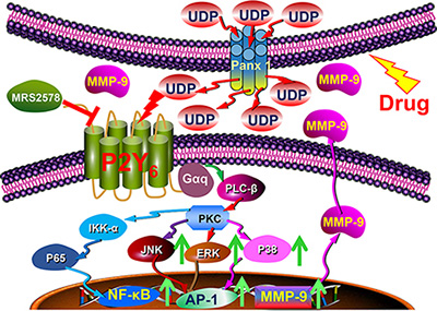 Schematic diagram showing the function and mechanism of UDP/P2Y6 facilitated breast cancer metastasis.