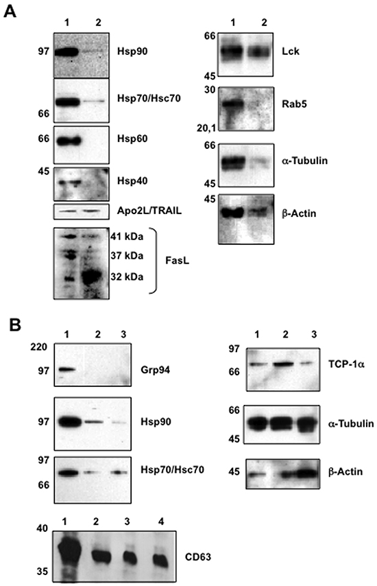 Initial immunoblot analysis of proteins expressed in cells and in exosomes.
