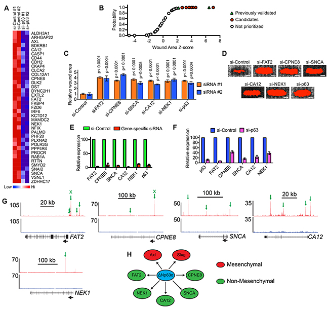 Determination of the ΔNp63α induced genes that are necessary for motility.