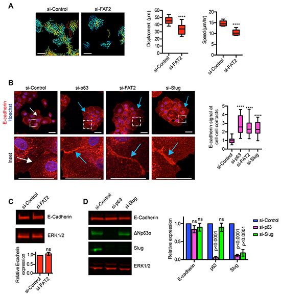ΔNp63α dependent expression of FAT2 and Slug influences the formation of cell-cell contacts.