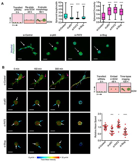ΔNp63α dependent induction of FAT2 and Slug is necessary for collective invasion.