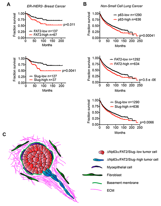 The expression of ΔNp63α, FAT2 and Slug correlates with poor patient outcome.