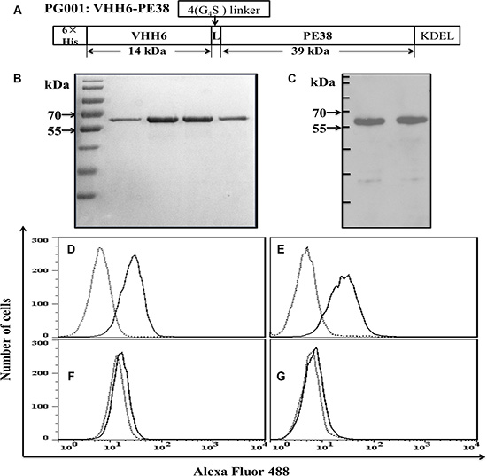 Design and characterization of the recombinant immunotoxin PG001.