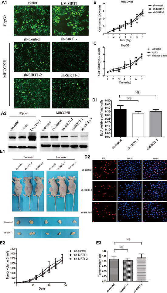 Effect of SIRT1 knockdown on HCC cell proliferation and tumorigenicity.