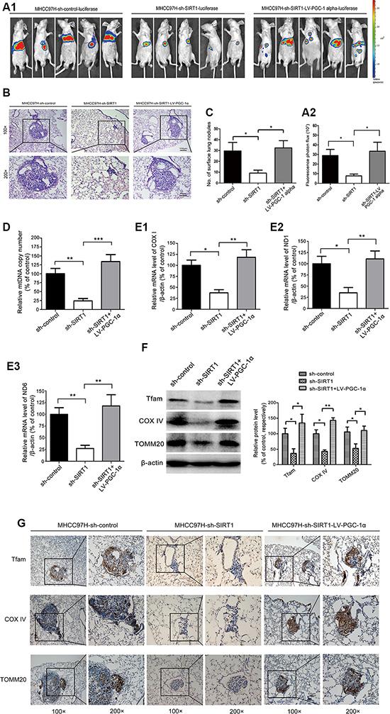PGC-1α reversed the inhibitory effects of SIRT1 depletion on metastasis by enhancing mitochondrial biogenesis in vivo.