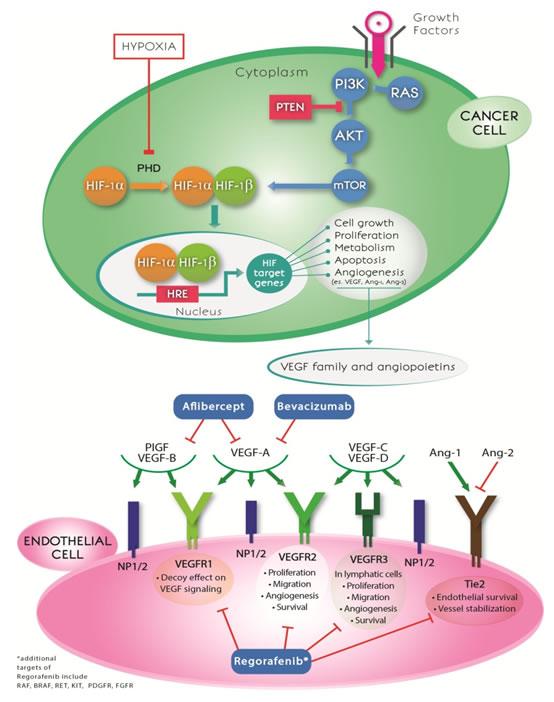Anti-angiogenic drugs and crosstalk between hypoxia and angiogenesis pathways.