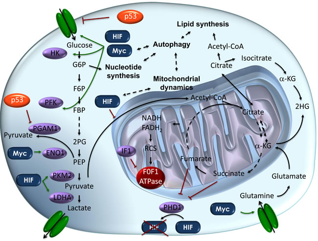 Schematic representation of the metabolic pathways altered in cancer cells.