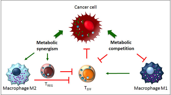 Metabolic competition and metabolic synergism in the tumour microenvironment.