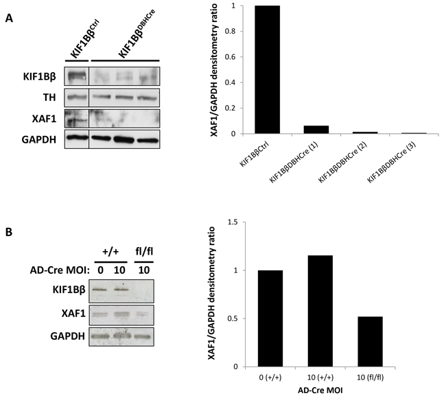 XAF1 is poorly expressed in KIF1Bβ Knock-out mouse sympathetic neuroblasts.