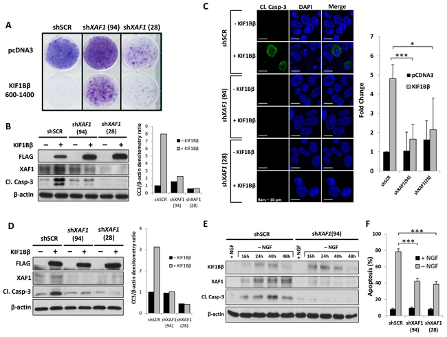 XAF1 is required for KIF1Bβ-mediated and NGF withdrawal-dependent apoptosis.