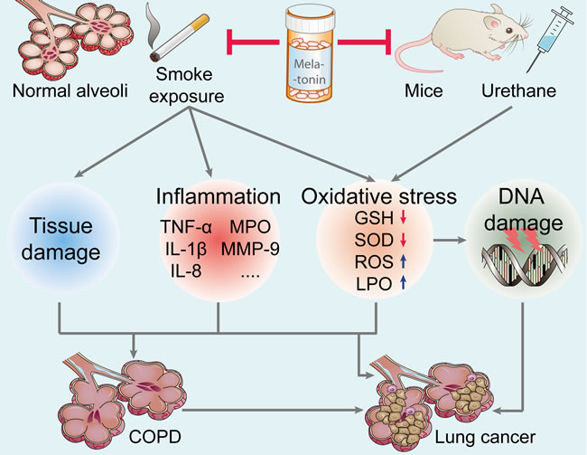 Effect of melatonin on the prevention of lung carcinogenesis.