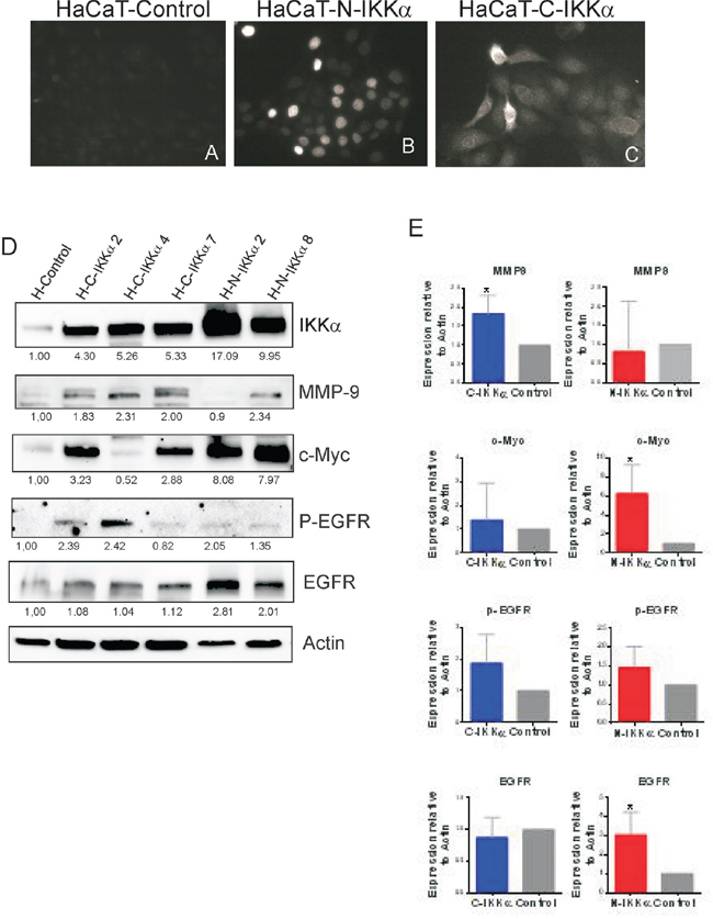 Characterization of the HaCaT-N-IKKα and HaCaT-C-IKKα cells.